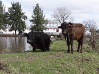 Mentira la vaca