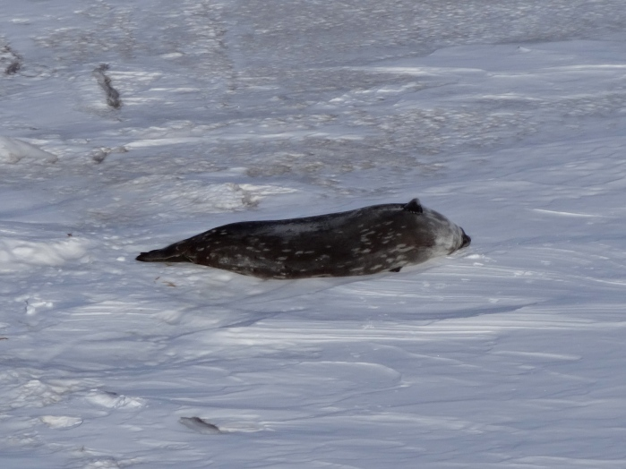 Here's a super boring picture of a Weddell Seal!